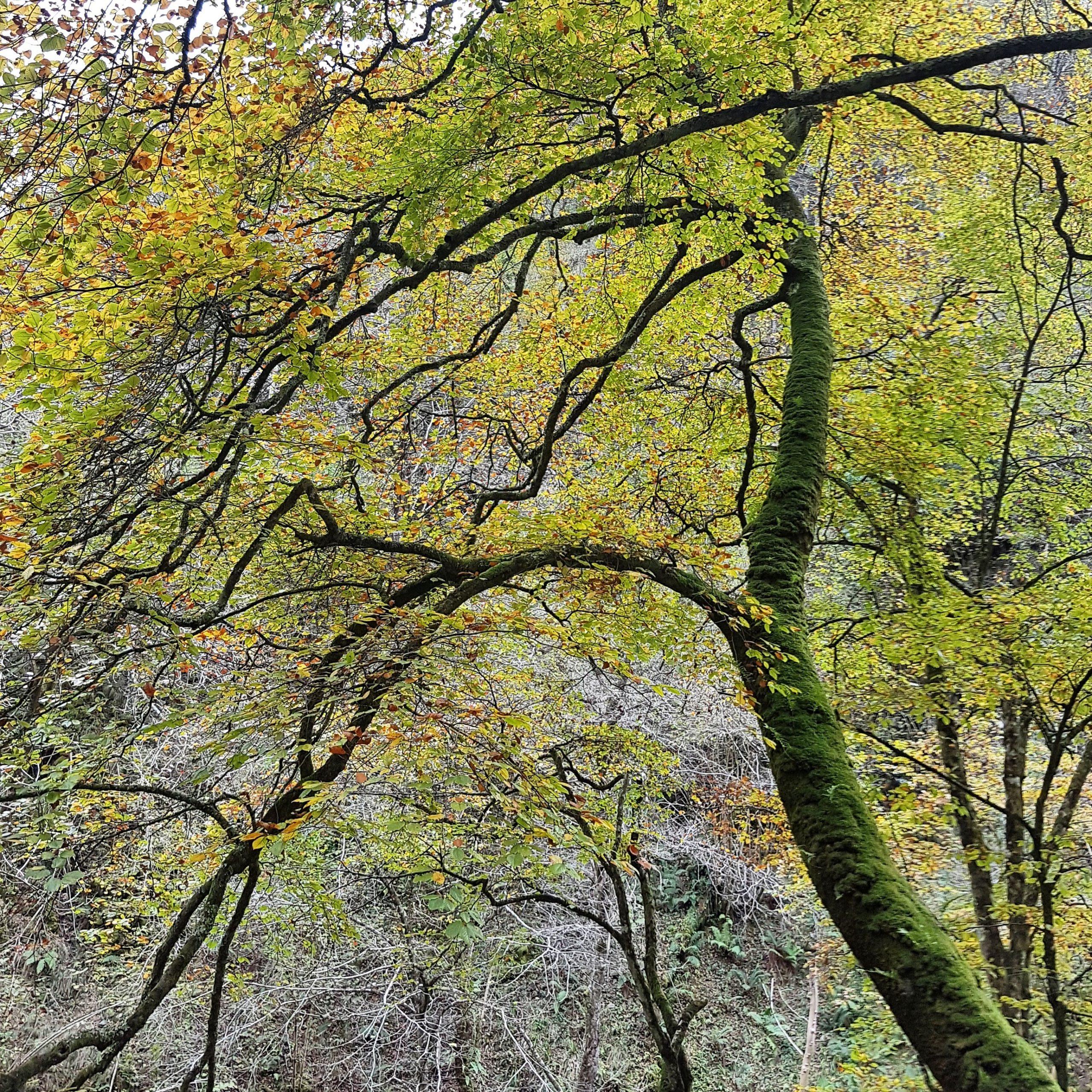 Autumn Leaves in Asturias